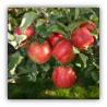 7 POUNDS WASHINGTON  HONEYCRISP APPLES GIFT BOX --  Price includes 2 day shipping